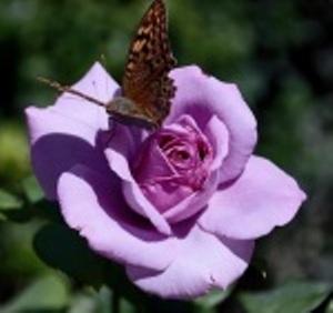 Если на побегах розового куста много листочков, дичок ли это?